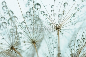 Obrazy i plakaty Dandelion seed with drops