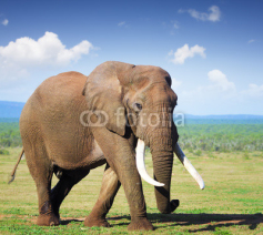 Fototapety Elephant with large tusks