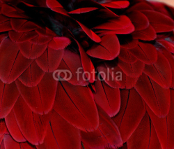Fototapety Feathers; Red