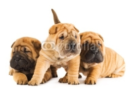 Naklejki Group of sharpei puppies isolated on white background (studio sh