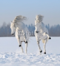 Obrazy i plakaty Two galloping snow-white horses