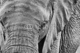 Obrazy i plakaty African elephant close-up in black and white