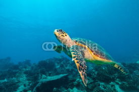 Obrazy i plakaty Hawksbill Sea Turtle in Indian ocean