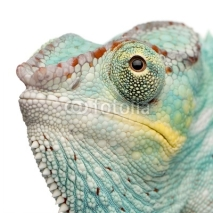 Fototapety Young Chameleon Furcifer Pardalis - Nosy Be(7 months)