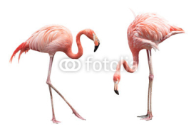 Obrazy i plakaty Two flamingo