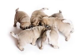 Naklejki Pug puppy on white background