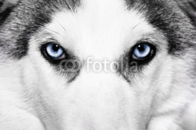 Fototapety close-up shot of husky dog