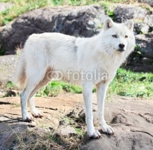 Fototapety Young Arctic Wolf Standing on Rocks