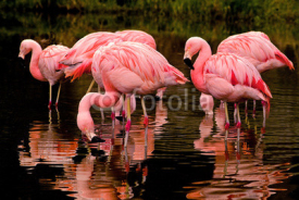 Obrazy i plakaty Chilean Flamingos Reflecting in Water