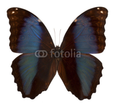 Fototapety Black and blue butterfly  isolated on white background