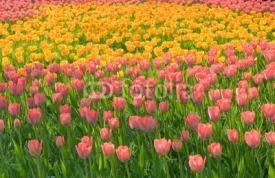 Fototapety field of pink yellow tulips with green stems grass