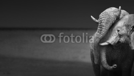 Fototapety Elephants interacting