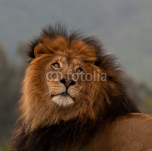 Fototapety unique lion portrait