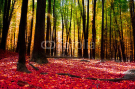 Fototapety Forest in autumn with golden light