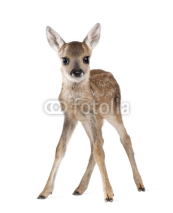 Obrazy i plakaty Roe Deer Fawn, standing against white background