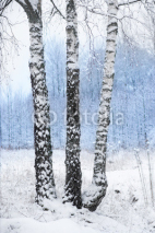 Fototapety birch trees in winter landscape
