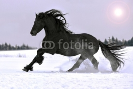Naklejki Friesian stallion gallop in winter