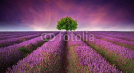 Naklejki Stunning lavender field landscape Summer sunset with single tree