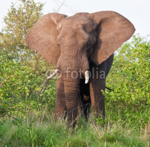 Fototapety Elephant bull eating green leaves