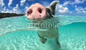 Wild, swimming pig on Big Majors Cay in The Bahamas