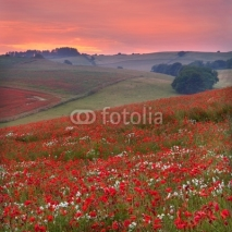Obrazy i plakaty Dorset poppy field sunset, UK