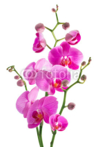 Naklejki pink flowers orchid on a white background