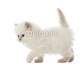 Naklejki British Longhair Kitten walking, 5 weeks old