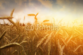 Fototapety golden wheat field and sunset