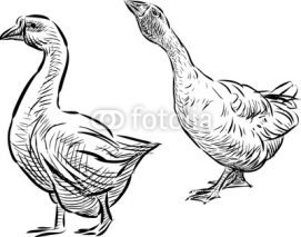 Fototapety two geese