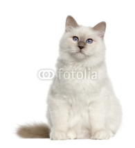 Naklejki Portrait of Birman cat, 6 months old, sitting