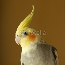 Fototapety portrait of cockatiel