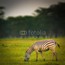 Fototapety zebra on grass