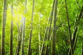 Fototapety bamboo forest with ray of lights