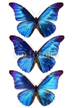 Fototapety three blue morpho