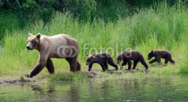 Fototapety Female Alaskan brown bear with cubs