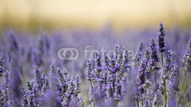 Naklejki Lavender flower field. Close up. France.