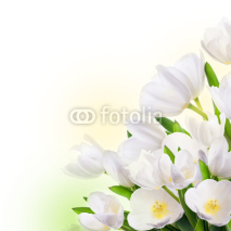 Fototapety White tulips with green grass. Floral background.