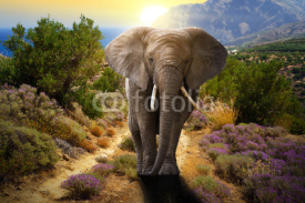 Fototapety Elephant walking on the road at sunset