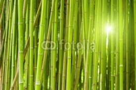 Fototapety Green bamboo forest