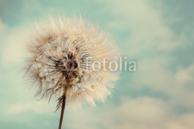 Fototapety Dandelion Isolated on blue cloudscape