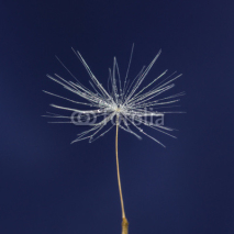Fototapety single dandelion seed with drops
