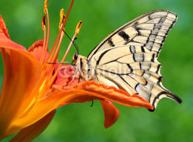 Fototapety close up of butterfly Papilio Machaon sitting on lily