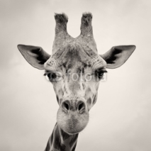 Fototapety vintage sepia toned image of a Giraffes Head
