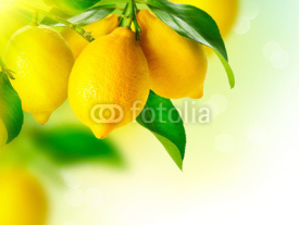 Fototapety Lemon. Ripe Lemons Hanging on a Lemon tree. Growing Lemon