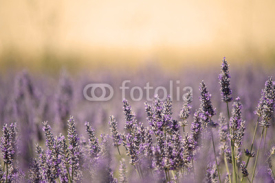 Naklejki Summer Meadow with Flower. Lavender.