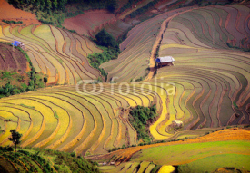 Fototapety rice field on terraced. Terraced rice fields in Vietnam