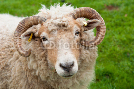 Fototapety Sheep with horns