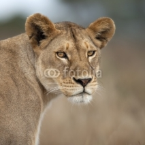Fototapety Close-up of Lioness in Serengeti, Tanzania, Africa
