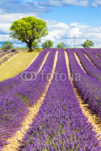 Fototapety Lavender field with tree