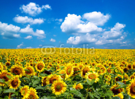 Fototapety sunflower field